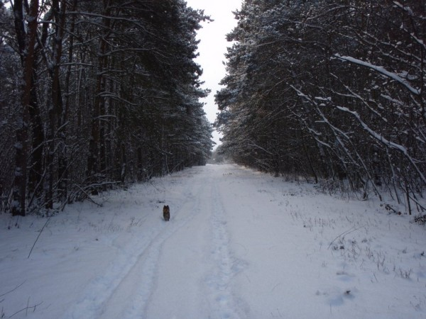 Veresegyhaz forest in the winter, Hungary